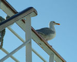 Title: Seagull Perched on ship railing