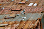 Title: Seagulls on rusty roof