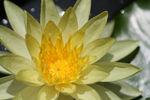 Title: Yellow waterlilly