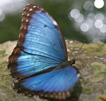 Title: Blue butterfly, it is very blue!
