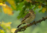 Title: Tree Pipit