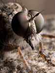 Title: Robberfly4