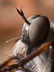Title: Robberfly3