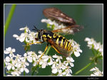 Title: fly imitating a wasp