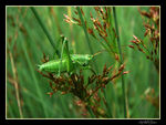 Title: Great Green Bush-cricket