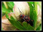 Title: Mating Cantharis fusca