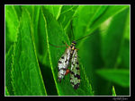 Title: Panorpa communis(scorpionfly)