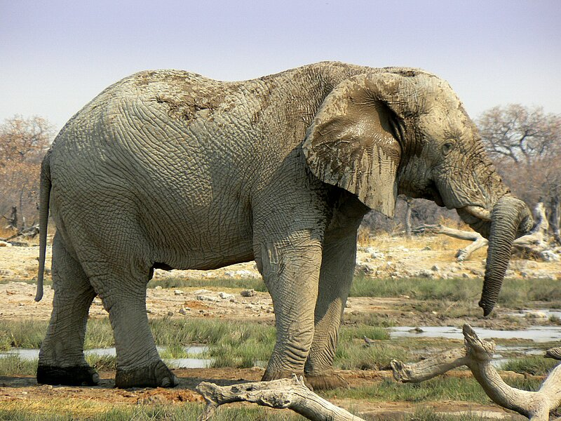Elephant resting his trunk on the tusk