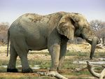 Title: Elephant resting his trunk on the tusk