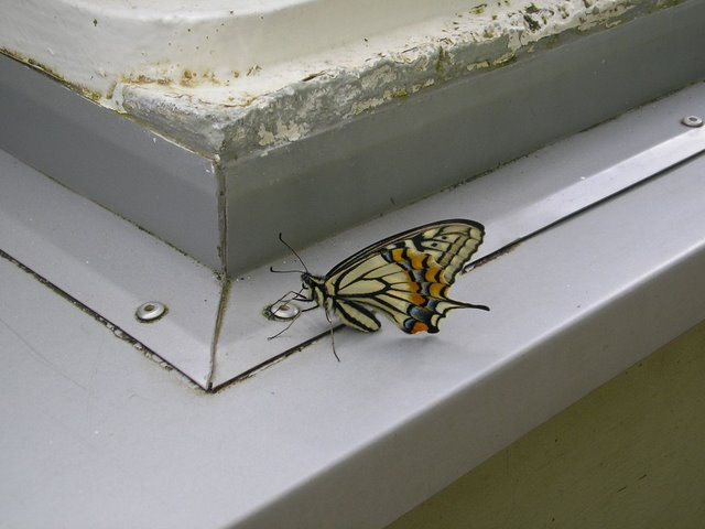 Butterfly by a window