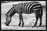 Title: Zebra eating.