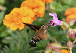 Title: Hemaris (Hummingbird Moth)