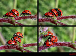 Title: The Ladybugs show