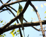 Title: Green Bee Eater with a Bee