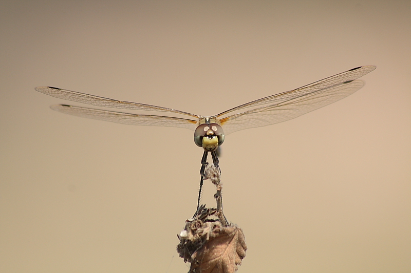 another profile of dragonfly