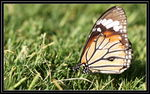 Title: Striped Tiger Butterfly