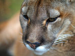 Title: Portrait of a Cougar