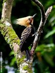 Title: Male of Blond-crested-woodpecker
