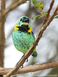 Title: Sa�ra-sete-cores (Green-headed Tanager)