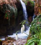 Title: Snowdrops by the waterfall