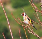 Title: The goldfinch