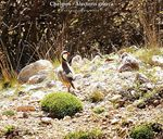 Title: Rock Partridge (Alectoris graeca)