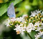 Title: The holly blue