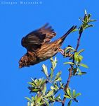 Title: The corn bunting