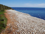 Title: Gannet Colony