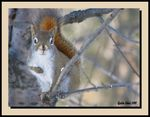 Title: Red Squirrel