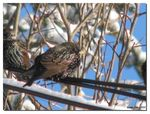Title: The Starling
