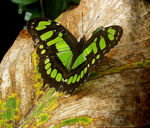 Title: Green Butterfly on dry leaf