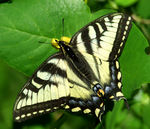 Title: Northern Swallowtail