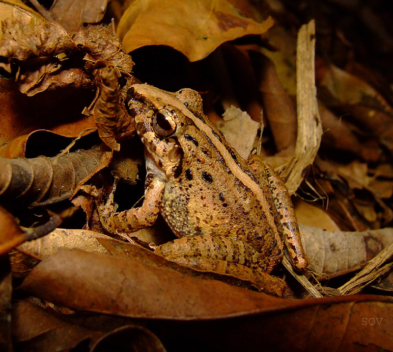 unidentified toad