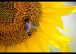 Title: Bee in Sunflower