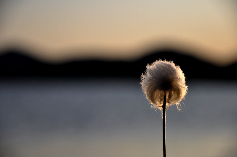 Cottongrass in Greenland