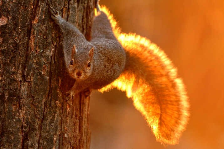 Not-so-Grey Squirrel
