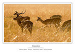 Title: Impalas in Sunset Light