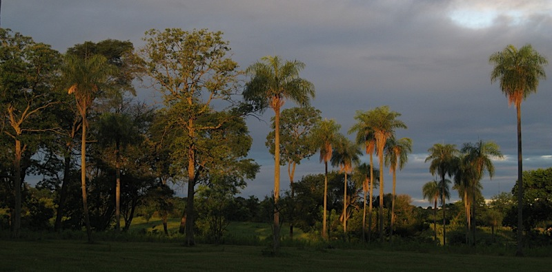 Palms of Paraguay