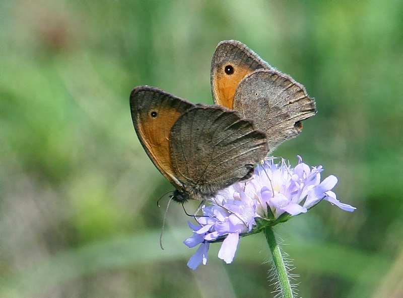 two Meadow Brown