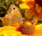 Title: Meadow brown 4Canon EOS 350D