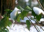 Title: snow on leaves