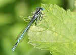 Title: white-legged damselfly