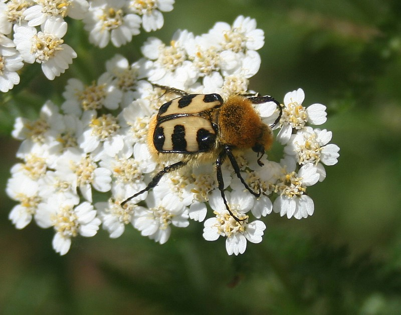 Bee beetle