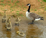 Title: Canadian geese - contoversy