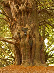 Title: Ancient  Yew Tree -  Stowe Gardens