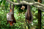Title: Old world bats.