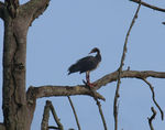 Title: Tree Goose.Canon EOS 40 D