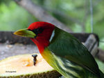 Title: Red headed barbet