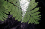 Title: Angiopteris Fern